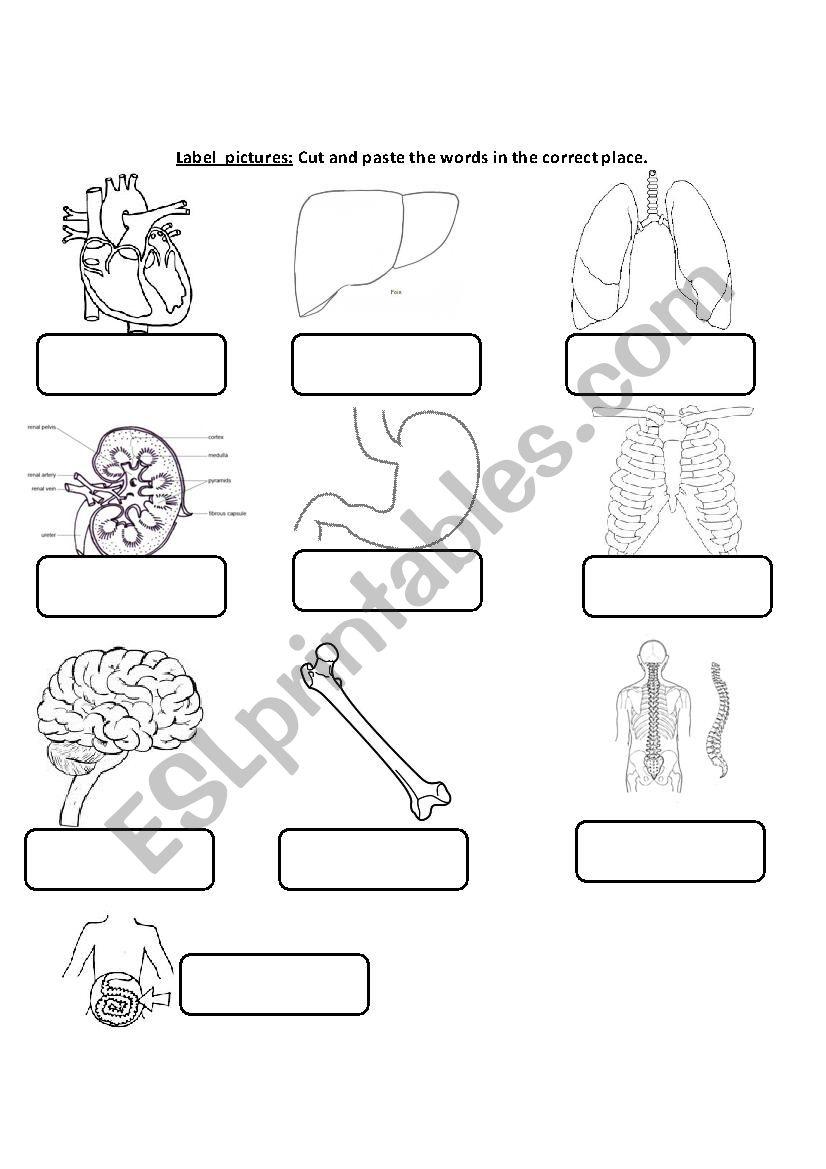 Internal Body Organs worksheet