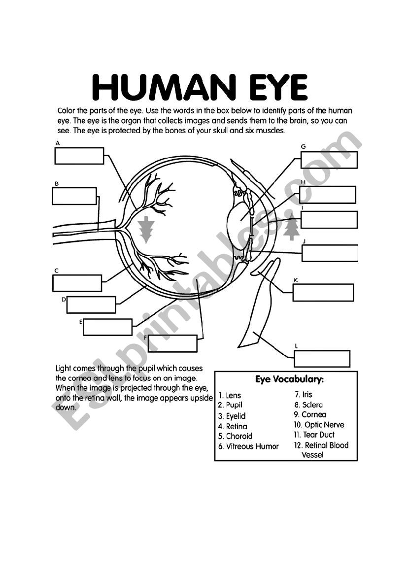 Label the eye - ESL worksheet by zarawampESL Printables