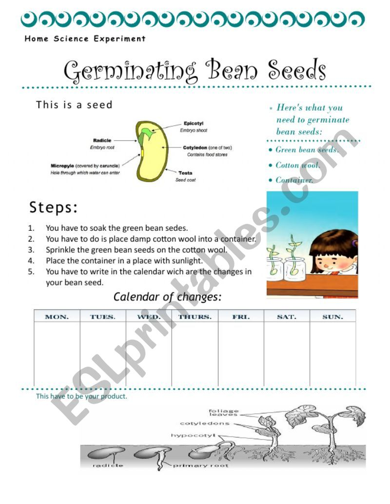 germinating bean seeds  worksheet