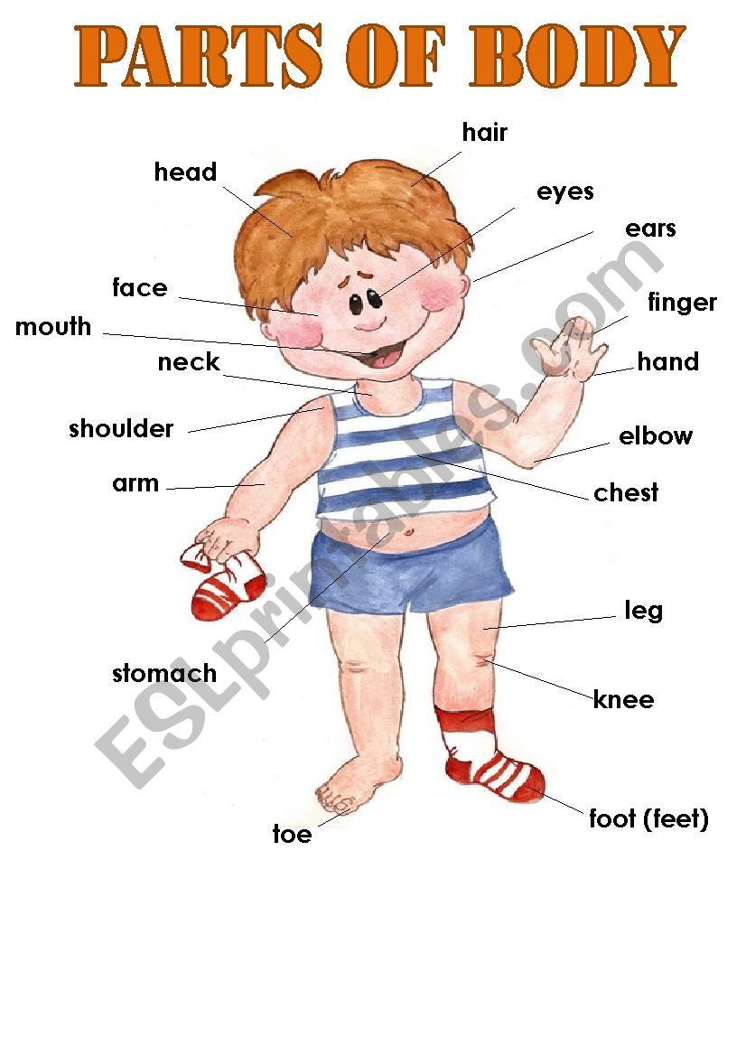 Ôpart of body worksheet